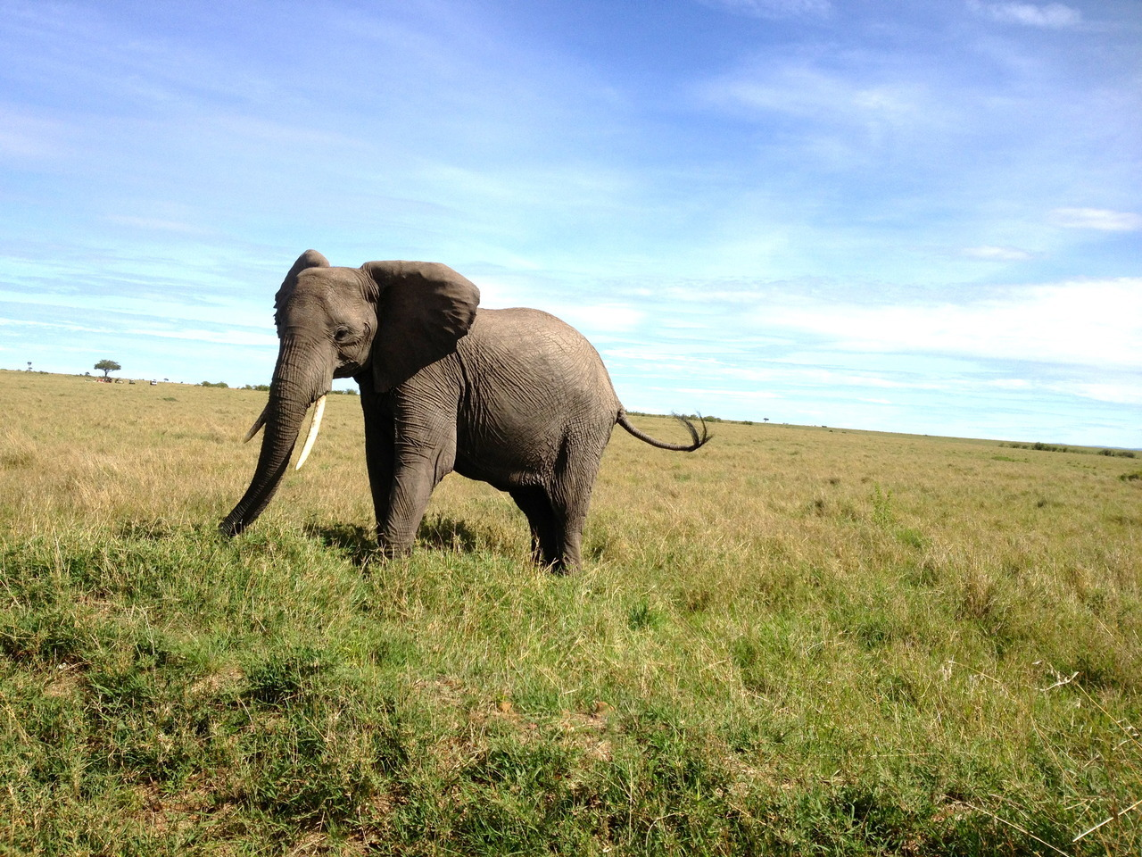 Elephant on the Mara