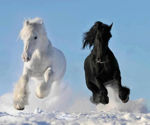 Beautiful picture of two horses running in the snow
