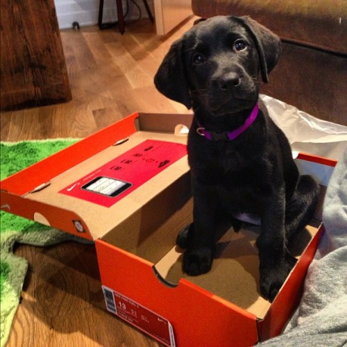 If only every size 13 @Nike shoe box had an #adorable #GuidingEyes #puppy inside.