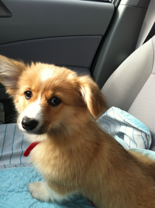 fluffy corgi! corgiaddict:  Skeptical corgi Normasaurus Rex on her way to the vet for the first time. She had NO IDEA what was coming!  Submitted by Norma's Mommy & Daddy, Rebecca & Michael