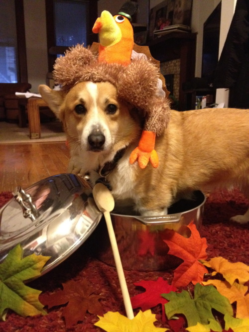 Another Jimbo-turkey picture! Corgis require extra-large roasting pans Submitted by Steve & Ande Gobble Gobble!