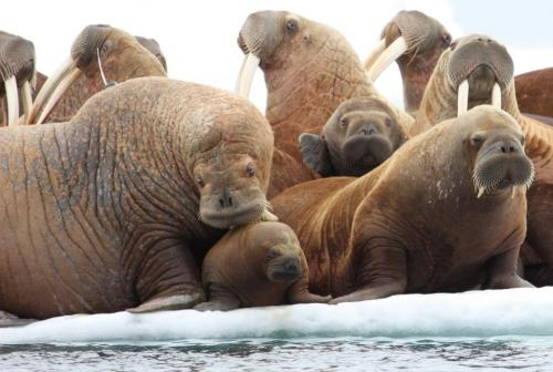 rhamphotheca:  Walruses Forced Ashore As Arctic Ice Disappears by Becky Oskin Arctic summer sea ice is the walrus equivalent of a maternity ward and a mall food court. But in the past five years, warming temperatures have caused substantial ice melt and left little to no ice for resting between feeding dives or giving birth, leading Pacific walruses to change their habits, U.S. Geological Survey scientists announced at a news conference in Anchorage, Alaska, on Wednesday (Nov. 14). When sea ice disappeared, the bewhiskered, bellowing mammals spent more time on land and foraged close to shore, instead of at their rich feeding grounds at sea. Females also gave birth on land, putting babies at risk of trampling by adults. In addition, walruses spent more time traveling at sea, putting them at risk of running into ships or other human activities. The research was presented at the news conference and published in this month's issue of the journal Marine Ecology Progress Series… (read more: Live Science)                  (photo: S.A. Sonsthagen, USGS)