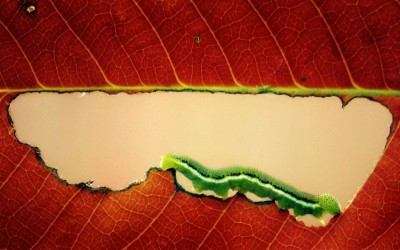A very hungry caterpillar munches its way through an autumn leaf in this photo captured by keen macro photographer Arief Perdana, in the garden of his home in Indonesia.  Picture: ARIEF PERDANA / CATERS NEWS