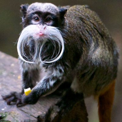 Movember monkey: An emperor tamarin with an impressive white moustache is seen at London Zoo.  Picture: Ben Denison / Barcroft Media