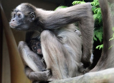 Recently born variegated spider monkey Florencia is protected by her mother Magdalena. They have just moved to a larger enclosure at Twycross Zoo, Warwickshire.  Picture: Rui Vieira/PA