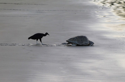 A vulture follows an olive ridley turtle as it returns to the sea after nesting at the La Flor Wildlife Refugee, Nicaragua