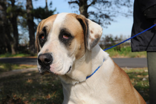 Meet Lucy, an adoptable Boxer/ St. Bernard mix.
