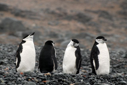 worldlyanimals:  Chinstrap Penguins (nhillgarth)  bla