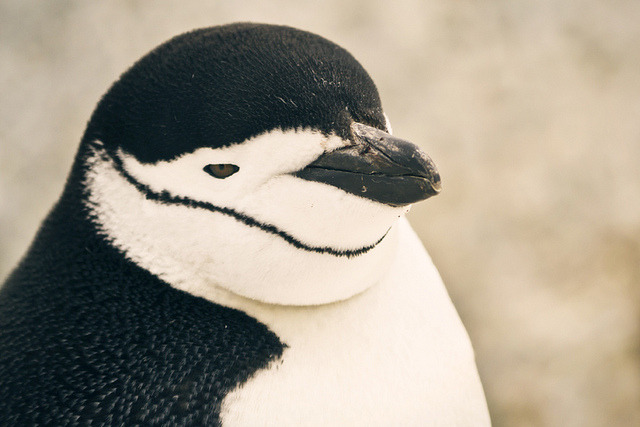 worldlyanimals:  Chinstrap Penguin, Antarctica (BB Ramone)