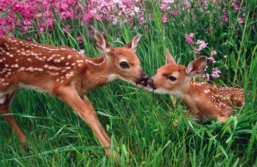 llbwwb:  deer and fawn in spring meadow by Erwin Bauer.