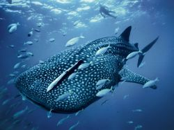 Whale Shark Photograph by Brian Skerry The sweeping color of sea and sky, blue is a common thread in nature, seen in the cerulean of a whale shark (pictured here), the indigo of a stormy night, and the cobalt of a peacock's feathers. Over the centuries, the hue has come to represent calm, cold, mysticism, and sadness.