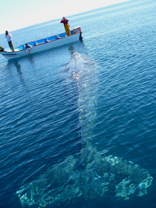 magicalnaturetour:  Grey Whale(by John Q2008)  Yeah, uh NO…would not be standing in boat, if saw this…