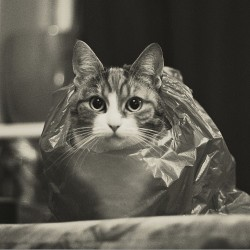 ihatepeas:  cat in a bag