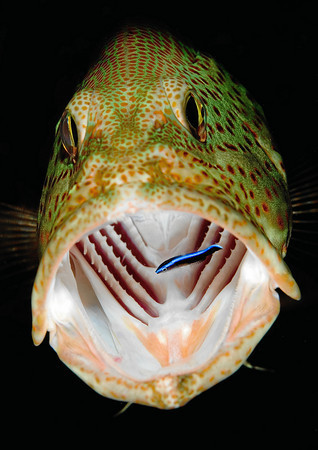 earthlynation:  grouper and cleaning fish source