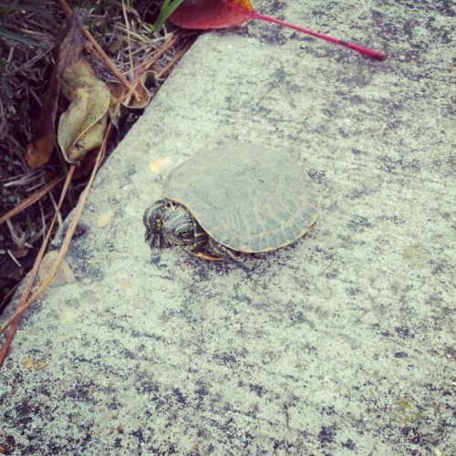 Super tiny turtle! Barely larger than a quarter.