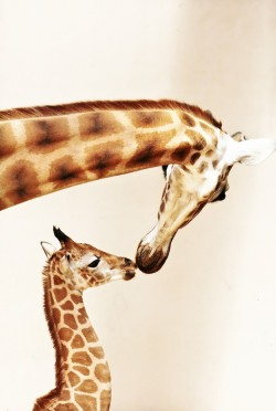 Giraffe with baby Photo by Niklas Passmann