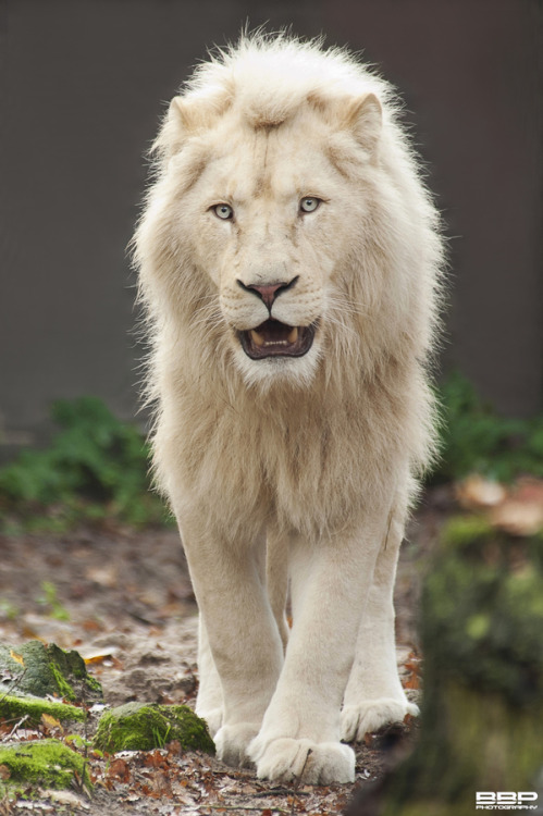 earthandanimals:  The majestic White Lion. Photo by Bert Broers