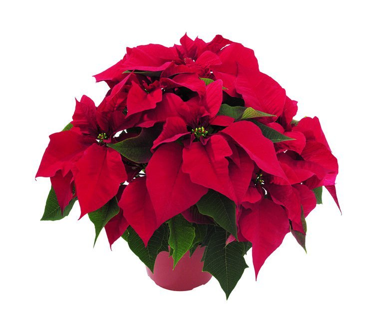 Poinsettia - Jubilee Red