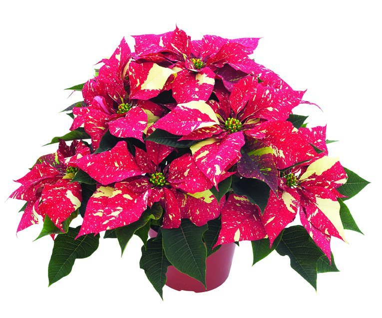 Poinsettia - Red Glitter
