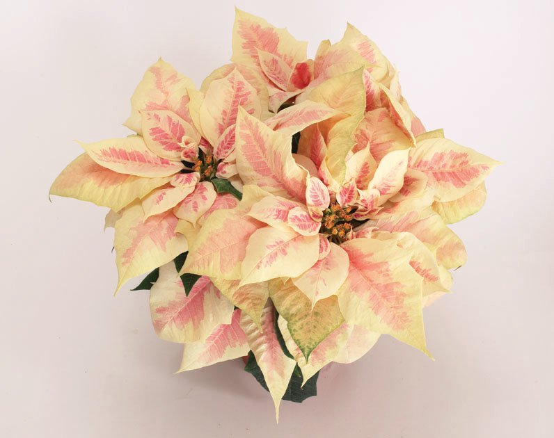 Poinsettia - Winter Blush Marble