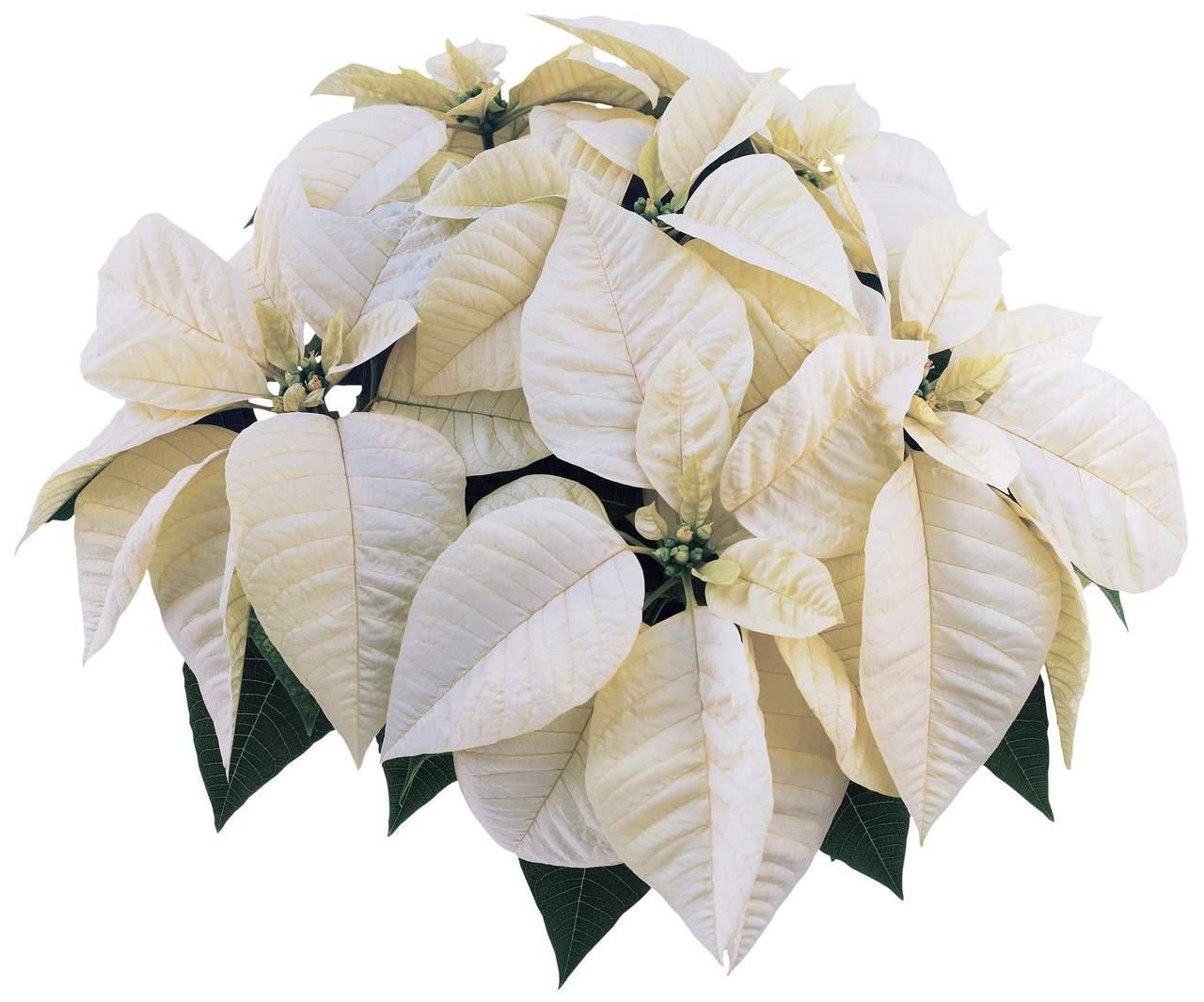 Poinsettia - Whitestar