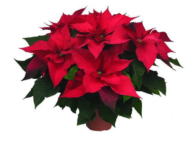 Poinsettia - Prestige Red