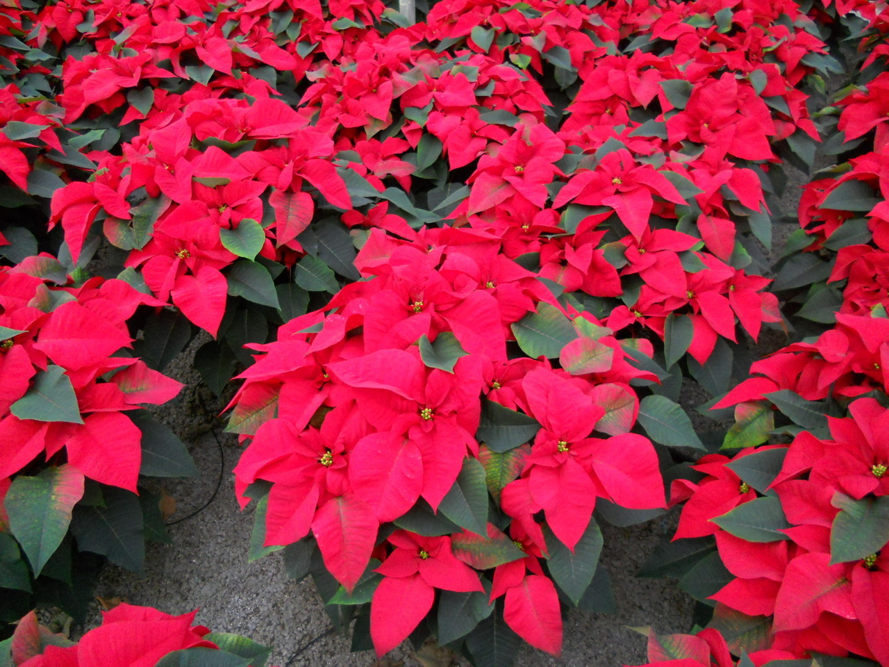 10 inch Jubilee Red Poinsettia available now!