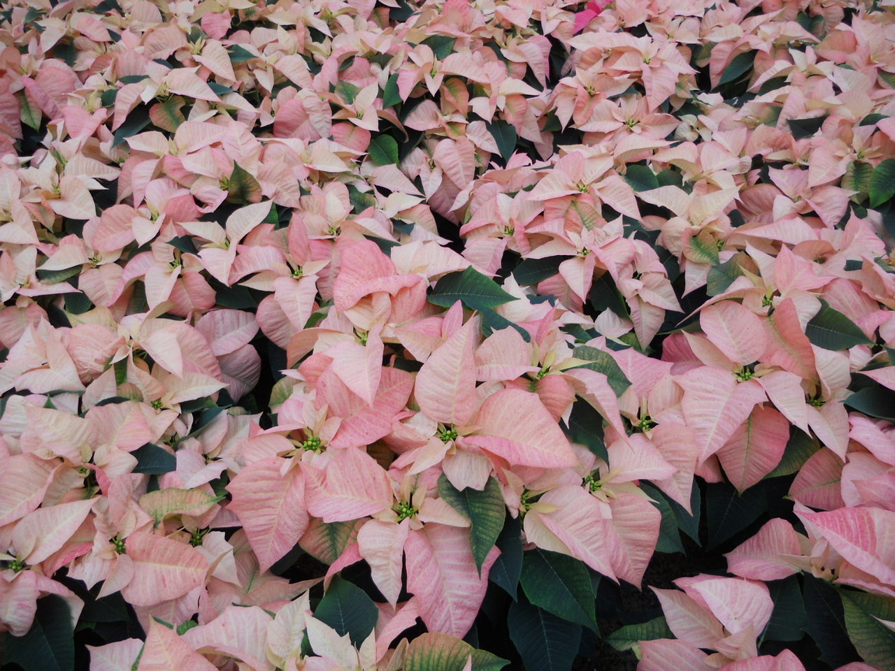 8 inch Freedom Peppermint Poinsettia