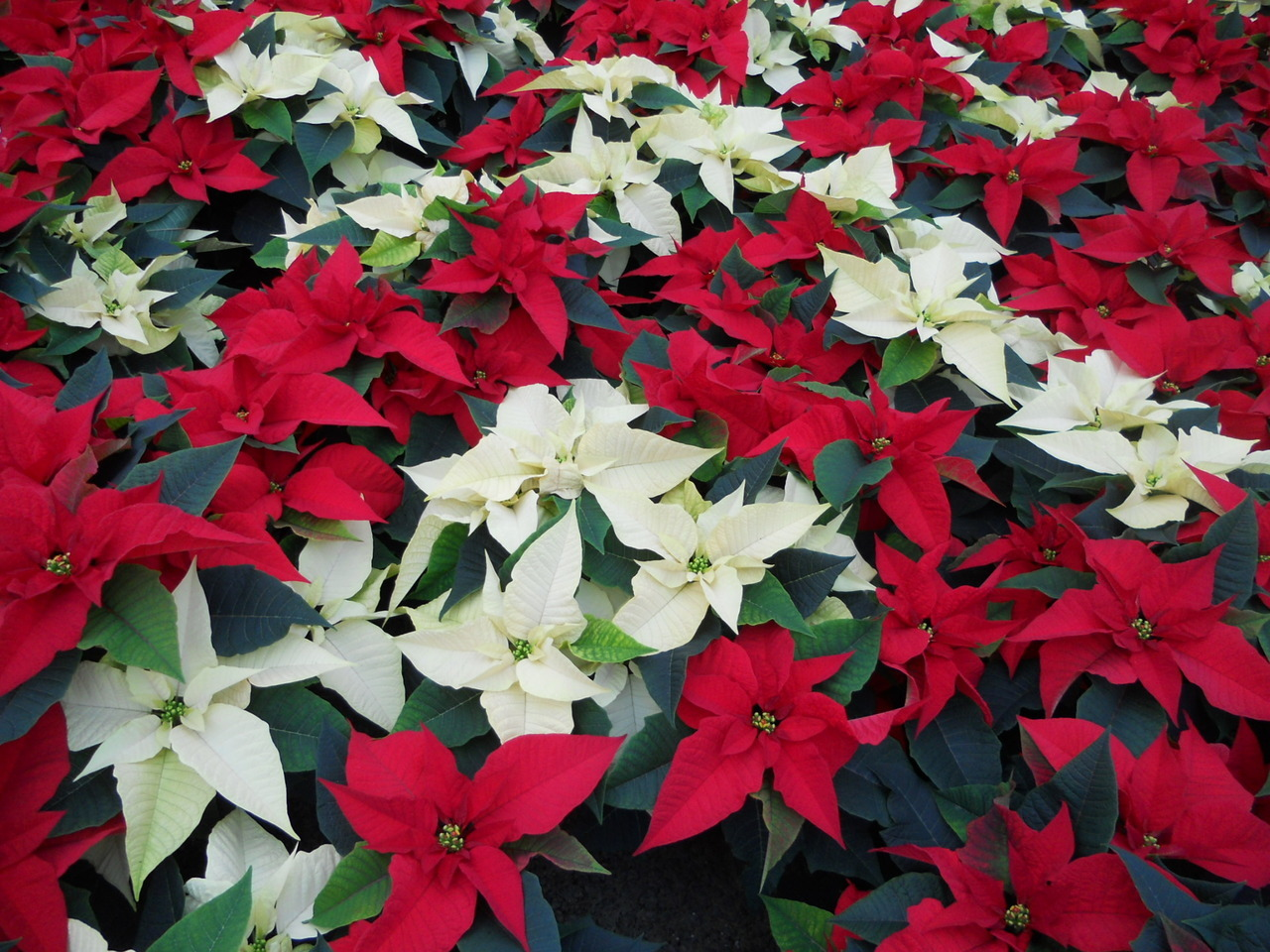 7 inch Classic Red & White Poinsettia