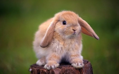 wallpapers-free:  Cute Rabbit