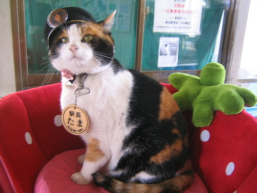 catbountry:   WHY DID I NOT KNOW ABOUT THIS CAT BEFORE HER NAME IS TAMAAND SHE'S THE STATIONMASTER AT A TRAIN STATION IN JAPANSHE GREETS ALL THE PASSENGERSAND SHE HAS HER OWN OFFICEAND SHE'S PAID IN CAT FOODAND SHE IS AN EXECUTIVE OF A RAILROAD STATION  AND LOOK AT HER  the trains are decorated with cartoon versions of her since she's their mascot as well   Japan is a nation comprised entirely of cat people.