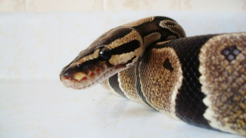 reptilealley: Albino Ball Python ~ ColbyThey are pets, not props!http://www.thepetitionsite.com/305/222/497/stop-killer-karaokes-animal-abuse/