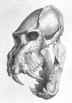 From Osteographia or the anatomy of the bones by William Cheselden. Found here.