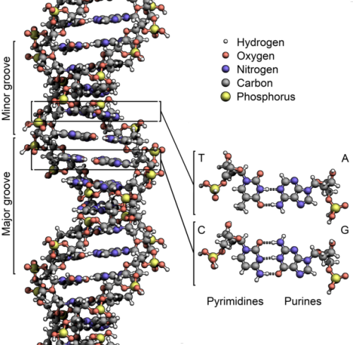 rhamphotheca:  A diagram showing the structure of DNA, with detail showing the structure of the four bases:adenine, cytosine, guanine and thymine, and the location of the major and minor groove. Along with RNA and proteins, DNA is one of the three major macromolecules that are essential for all known forms of life. Most DNA molecules are double-stranded helices, consisting of two long polymers of simple units called nucleotides, molecules with backbones made of alternating sugars (deoxyribose) and phosphate groups, with the bases attached to the sugars. (image: Richard Wheeler)                                        (via: Wikipedia)