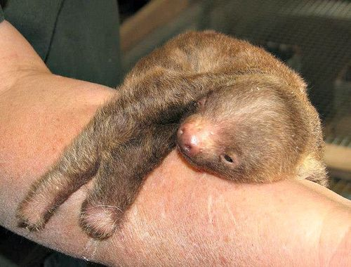 (via Baby Sloth Hangs out at Pueblo Zoo - ZooBorns)