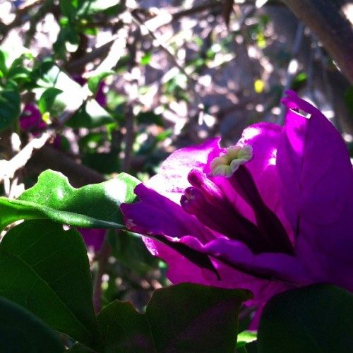 Violet petals and light. #santamonica