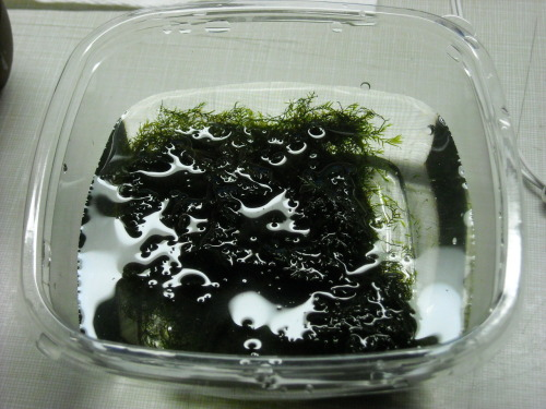 This is my new pet. It's java moss. Look at its cute.
