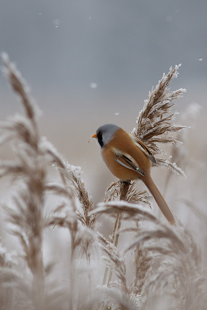 Bearded Reedling X by Ville Airo on Flickr.