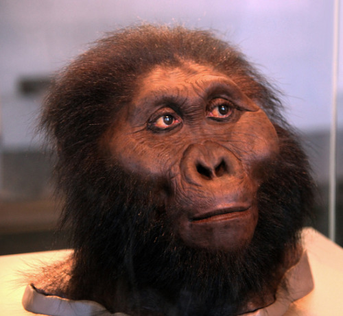 "deconversionmovement:  The Top Seven Human Evolution Discoveries From Tanzania Lucy and Ardi are the poster children of human evolution. But these famous fossil skeletons may never have been found if it weren't for Louis and Mary Leakey's pioneering efforts. The pair made several discoveries at Tanzania's Olduvai Gorge in the 1950s and 1960s that inspired other anthropologists to come to East Africa in search of human ancestors. Here's a look at some of the most important hominid fossil finds from Tanzania. The Nutcracker Man (OH 5): The Leakeys' first major discovery at Olduvai Gorge occurred in 1959. Mary found the roughly 1.8-million-year-old skull of a hominid with a flat face, gigantic teeth, a large crest on the top of its head (where chewing muscles attached) and a relatively small brain. They named the species Zinjanthropus boisei (now known as Paranthropus boisei). Nicknamed the Nutcracker Man, the species was too different from modern people to be the direct human ancestor that Louis had been hoping to find. But the discovery captured public interest in human evolution, and the Leakeys went on to unearth many more hominid fossils at Olduvai. OH 5 is the fossil's official catalog name, meaning Olduvai Hominid Number 5. Johnny's Child (OH 7): The next big Leaky discovery came in 1960. Mary and Louis' son, Johnny, found a lower jaw about 300 yards away from where the Nutcracker Man was discovered. The bone came from a young hominid; thus, the fossil was nicknamed Johnny's Child. At the same spot, the Leakeys also dug up some hand bones and skull fragments. Using these skull fragments, the Leakeys and their colleagues estimated the roughly 1.8-million-year-old hominid's brain size: 680 cubic centimeters. That was significantly bigger than the size of the average australopithecine brain, about 500 cubic centimeters. The hand bones revealed that the hominid had a ""precision grip,"" when a fingertip presses against the tip of the thumb. This movement allows for fine manipulation of objects, such as turning a key in a door or threading a needle. The precision grip led the Leakeys to conclude that this hominid was the one who made the stone tools found at Olduvai. Because of the tool-making and the big brain, the Leakeys decided OH 7 represented the earliest member of the genus Homo: Homo habilis (meaning Handy Man). OH 8: Also in 1960, the Leakeys' team discovered a well-preserved fossil foot belonging to H. habilis. The bones indicate the hominid had modern-looking foot arches, suggesting the species walked like modern people do. Tooth marks on the specimen's ankle reveal the hominid had been a crocodile's lunch. OH 9: At the same time the Leakeys unearthed the first examples of H. habilis, they also recovered the skull cap of a more recent hominid dating to about 1.4 million years ago. At 1,000 cubic centimeters, the specimen's brain was much bigger than that of H. habilis. The skull had thick brow ridges and a low, sloped forehead—key features linking the fossil to the species Homo erectus. Twiggy (OH 24): Discovered in 1968 by Peter Nzube, Twiggy is a skull belonging to an adult H. habilis dating to roughly 1.8 million years ago. Although OH 24 is the most complete H. habilis skull from Olduvai Gorge, it was found crushed completely flat (and therefore named after the slender British model of the same name). Paleoanthropologist Ron Clarke reconstructed what the skull would have looked like, but it's still fairly distorted. LH 4: In the 1970s, after Louis died, Mary began excavations at Laetoli, about 30 miles from Olduvai Gorge. The fossils she was finding there were much older than the bones she and Louis had discovered at Olduvai. In 1974, for example, her team unearthed a lower jaw with teeth dating to 3.6 million years ago. It was cataloged as Laetoli Homind 4, or LH 4. Around the same time, anthropologists at the site of Hadar in Ethiopia were also finding hominid fossils dating to more than 3 million years ago, including the famous Lucy skeleton. At first, no one was sure what to call these older fossils. After analyzing both the Hadar and Laetoli specimens, anthropologists Tim White and Donald Johanson (Lucy's discoverer) concluded that all of the fossils represented one species that they called Australopithecus afarensis. They chose LH 4 as the species' type specimen, or the standard representative of the species. Mary did not approve. She didn't believe the fossils from Laetoli were australopithecines. But under the rules of taxonomy, once a type specimen is designated, it's forever associated with its species name. (For more on the controversy, see Johanson's book Lucy.) Laetoli Footprints: In 1978, one of Mary's team members, Paul Abell, made the most famous discovery at Laetoli: He found the trail of about 70 fossilized hominid footprints. Based on the footprints' age, 3.6 million years, anthropologists think they were made by an A. afarensis group. The footprints reveal this early hominid had a very modern way of walking. The big toe was in line with the other toes, not off to the side like an ape's big toe. And the prints reveal the walkers had arches, unlike the flat feet of an ape. The footprints also suggest A. afarensis had a modern gait."