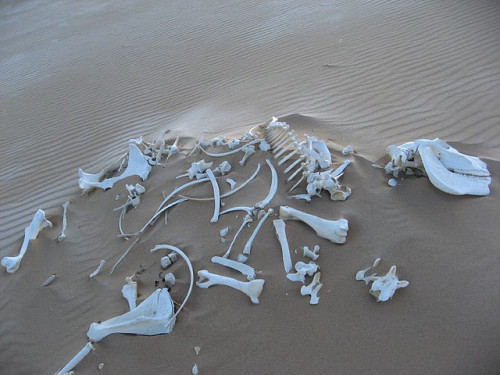 skullandbone:  Horse skeleton on a sand dune by Vueltaa on Flickr.