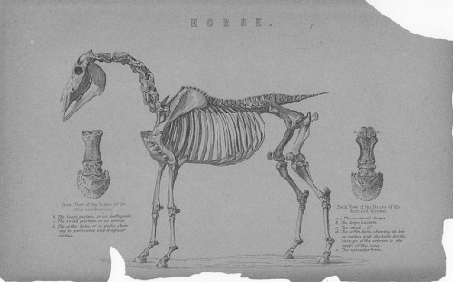 skullandbone:  Horse skeleton - National Encyclopedia 1884 by AndyBrii on Flickr.