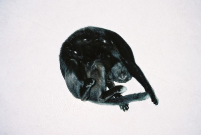 mini black panther.