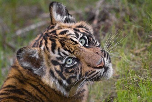 animals-plus-nature:  Sumatran tiger cub by Official San Diego Zoo on Flickr.