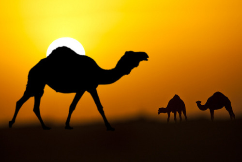 animalgazing:  Return with sunset by HANI AL MAWASH on Flickr.