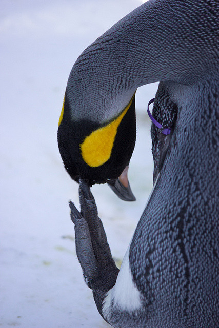 thepenguinblog:  Where did I put the keys? by poormommy on Flickr. Itchy penguin :)