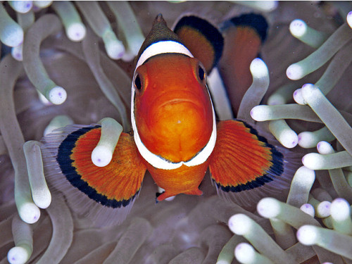 animalgazing:  Nemo by HANI AL MAWASH on Flickr.