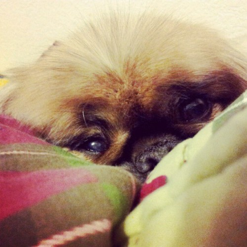 Hopsing loves #winternights just as much as his Momma :) #cuddles #pekingese #peke