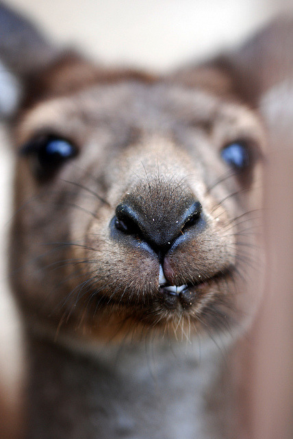 animalgazing:  kangaroo  by floridapfe on Flickr.