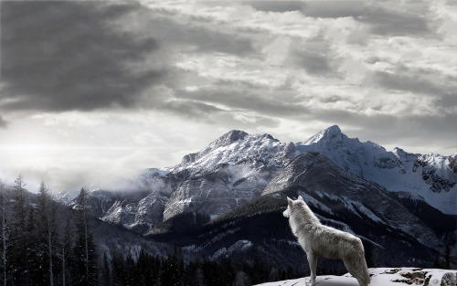 wallpapers-free:  Mountains Gray Wolf