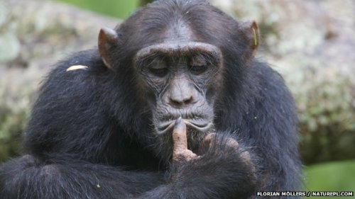 "BBC:  Great apes may have 'mid-life crisis', a study suggests Chimpanzees and orangutans may experience a ""mid-life crisis"" like humans, a study suggests. An international team of researchers assessed the well-being and happiness of the great apes. They found well-being was high in youth, fell to a low in midlife and rose again in old age, similar to the ""U-shape curve"" of happiness in humans. The study brought together experts such as psychologists, primatologists and economists. Results are published in the Proceedings of the National Academy of Sciences. ""What we are testing is whether the U-shaped curve can describe the association between age and well-being in non-human primates as it does in humans,"" psychologist and lead author Dr Alexander Weiss of the University of Edinburgh told BBC Nature. Dr Weiss hoped the results would show a similar curve because of the close relationship between humans, chimpanzees and orangutans. The study showed that male and female humans, chimpanzees and orangutans have the same U-shaped curve despite differences in social roles, and the phenomenon is therefore not uniquely human. Testing times The sample subjects included 508 chimpanzees (Pan troglodytes) and orangutans (Pongo sp.) of varying ages, from zoos, sanctuaries and research centres. They were assessed by zoo keepers, volunteers, researchers and caretakers who had worked with the primate subject for at least two years and knew its behaviour. The animals were numerically scored for well-being and happiness on a short questionnaire, which was based on a human well-being model but modified for use in non-human primates. Dr Weiss said that the similarities between humans, chimps and orangutans go beyond genetics and physiology. For example, chimpanzees face similar social pressures and stress factors to humans. ""You don't have the chimpanzee hitting mid-life and suddenly they want a bright red sports car,"" explained Dr Weiss. ""But there may be other things that they want like mating with more females or gaining access to more resources."" Co-author Andrew Oswald, professor of economics at the University of Warwick, has researched human happiness for 20 years. ""One of the reasons we decided to look at ape data was that when you study humans, that U-shape is exactly the same when you adjust statistically for things like education, income and marriage. For Prof Oswald it was ""quite mind-blowing… to find it in apes"". e concluded that ""the mid-life crisis is real and it exists in… our closest biological relatives, suggesting that it is probably explained by biology and physiology"". The bigger picture Psychologist Dr Weiss said that this research opens a lot of doors. He explained that for a long time this kind of mid-life crisis was considered something specific to human society and human lives. ""And what [this study] says is that it may be a part of the picture, but it's clearly not all of the picture. ""We have to look deeper into our evolutionary past and that of the common ancestors that we share with chimpanzees, orangutans and other apes."""